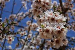 Миндальные деревья в цветени под голубым небом Стоковое Фото