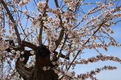 Миндальные деревья в цветени под голубым небом Стоковое фото RF