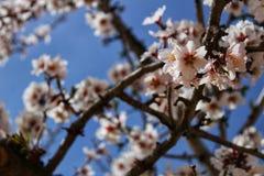 Миндальные деревья в цветени под голубым небом Стоковые Фотографии RF