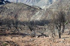 Миндальные деревья после огня стоковая фотография rf