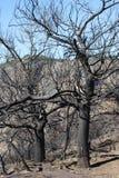 Миндальные деревья после огня стоковые изображения