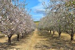 Миндальные деревья blossoming в пинке и белизне Стоковое фото RF