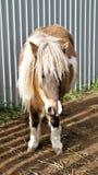 миниатюра лошади Стоковая Фотография RF