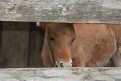 миниатюра лошади Стоковые Фото