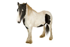 миниатюра лошади Стоковые Изображения RF