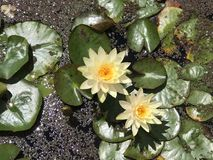 Миниатюрная лилия желтой воды, helvola Nymphaea Стоковое Изображение