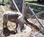Миниатюрная лошадь Стоковая Фотография RF