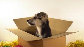 Миниатюрная собака щенка сидит в коробке почтового сбора с украшениями рождества и Нового Года Стоковые Фото