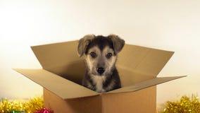 Миниатюрная собака щенка сидит в коробке почтового сбора с украшениями рождества и Нового Года Стоковые Изображения RF