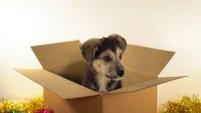Миниатюрная собака щенка сидит в коробке почтового сбора с украшениями рождества и Нового Года Стоковые Фотографии RF