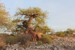 Миниатюрное дерево баобаба Стоковые Фото