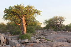 Миниатюрное дерево баобаба Стоковое Изображение RF