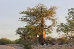 Миниатюрное дерево баобаба Стоковые Изображения