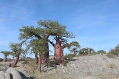 Миниатюрное дерево баобаба Стоковая Фотография RF