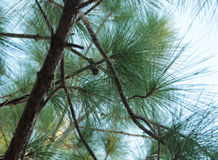 Миниатюрные конусы сосны Стоковое фото RF