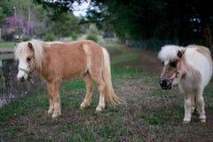 Миниатюрные лошади Стоковая Фотография RF
