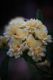 Миниатюрные одичалые розы Стоковое Изображение RF
