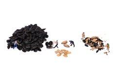 Миниатюрные семена подсолнуха пролома работников Работа людей Семена отрезка людей Стоковые Фото