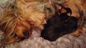 Миниатюрный йоркширский терьер кормя молодых щенят грудью сток-видео
