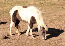 миниатюрный пони краски Стоковое Фото
