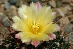 Миниатюрный цветок кактуса бочонка Стоковая Фотография RF
