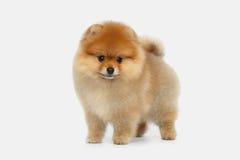Миниатюрный щенок шпица Pomeranian на белой предпосылке Стоковая Фотография RF