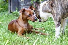 Миниатюрный pinscher играя с собакой мопса на зеленом цвете стоковые фотографии rf