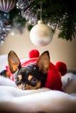Миниатюрный pinscher под рождественской елкой стоковое фото rf