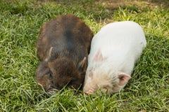 2 миниатюрных поросят отдыхая в траве Стоковое Изображение RF