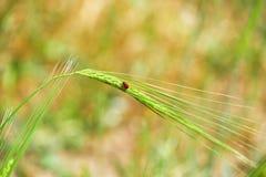 Минимализм - красная черепашка на ухе пшеницы Стоковое фото RF