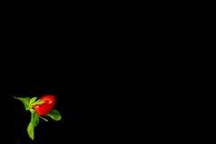 Минималистское взгляд сверху одиночного томата вишни на черной предпосылке Стоковое Изображение RF