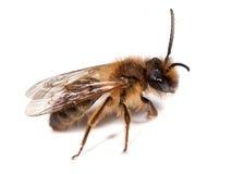 минирование пчелы мыжское Стоковое Фото