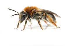 минирование пчелы женское Стоковое Фото