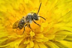 минирование пчелы мыжское Стоковая Фотография RF