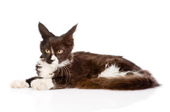 Минируйте кот енота лежа вниз и смотря прочь Изолировано на белизне Стоковые Изображения RF