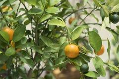 Мини апельсин на дереве Стоковая Фотография