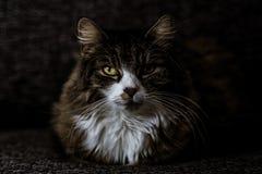 Мини главный енот сидит на кресле в косвенном свете с фокусом на глазах стоковые фото