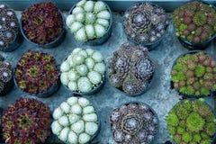 Мини кактус в баках Стоковые Фото