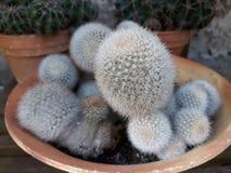 Мини кактус которое украшает ваш сад стоковая фотография rf