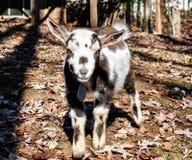 Мини коза смотря правый на вас Стоковые Изображения