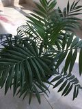 Мини кокосовая пальма Стоковые Фотографии RF