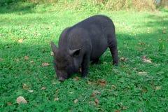 Мини свинья Он ` s есть траву домом Стоковые Фотографии RF
