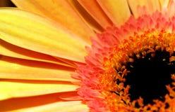 Мини солнцецвет Стоковые Фото
