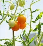 Мини томат приносить на крупном плане ветви Стоковая Фотография