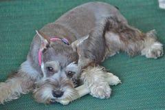 Мини щенок шнауцера Стоковая Фотография