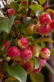 Мини яблоки Стоковые Фото