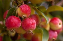 Мини яблоня Стоковое Изображение RF