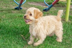 Мини ‹â€ ‹â€ собаки щенка Goldendoodle идет outdoors на зеленую лужайку стоковое фото rf