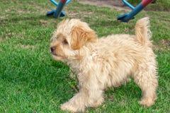 Мини ‹â€ ‹â€ собаки щенка Goldendoodle идет outdoors на зеленую лужайку стоковые изображения