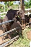 Мини murrah в ферме стоковые фотографии rf